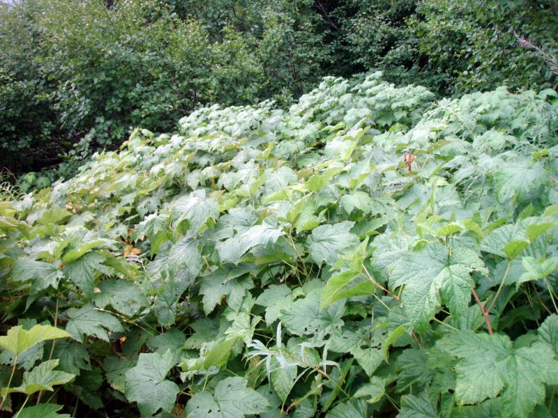 Thimbleberry overtaking the trail
